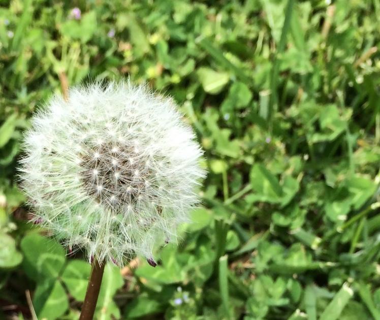 Dandelion (
