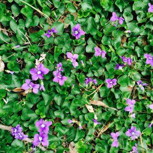 Violet Carpet 1