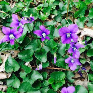 Violet Carpet 2